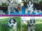 Фото в Собаки и щенки Продажа собак, щенков Щеночков хаски (чистокровных), а также подрощенных в Рыбинске 7000
