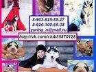 Изображение в Собаки и щенки Продажа собак, щенков ХАСКИ черно-белых красивееенных щеночков в Рыбинске 0