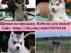 Фотография в Собаки и щенки Продажа собак, щенков В продаже чистокровные очень красивые щеночки в Рыбинске 8000