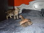 Фотография в Кошки и котята Продажа кошек и котят Открыто бронирование бенгальских леопардиков в Рыбинске 3000