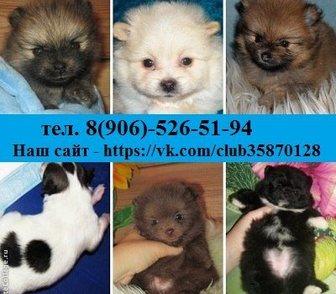 Изображение в Собаки и щенки Продажа собак, щенков Померанские красивые щенята от 8500 рублей, в Рыбинске 8500