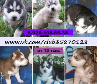Изображение в Собаки и щенки Продажа собак, щенков Продам красивых хасей! От 12 тысяч! У нас в Рыбинске 12000