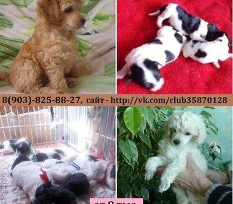 Фото в Собаки и щенки Продажа собак, щенков В продаже чистокровные щенки карликового в Рыбинске 8000