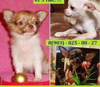 Фотография в Собаки и щенки Продажа собак, щенков ЧИХУА-ХУА красивеееееннных чистокровных и в Рыбинске 0