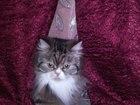 Свежее foto  Персидская кошечка ищет жениха!Срочно! 38601665 в Саяногорске