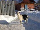 Изображение в Домашние животные Другие животные продаются козочки мать зааненка отец альпиец в Самаре 15000