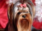 Фотография в Собаки и щенки Вязка собак Самара ! ! ! Вязка Йорк . Кабель 1, 5 года в Самаре 3000