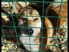 Изображение в Собаки и щенки Вязка собак Помогите найти кобелька для случки. Течка в Самаре 0