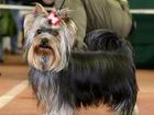 Изображение в Собаки и щенки Вязка собак Самара ! Вязка Йорк . Кобель 1, 5 года . в Самаре 3000