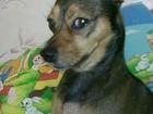 Скачать бесплатно фотографию Вязка собак Ищем девочку для вязки ( Самара) 38366183 в Самаре