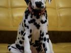 Фото в Собаки и щенки Продажа собак, щенков СРОЧНО! Продаются породистые щенки из питомника в Москве 10000