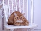 Фото в Кошки и котята Вязка Шотландский прямоухий котик красного текированного в Самаре 2000