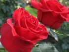 Уникальное изображение  Саженцы роз 15 сортов, Двухлетки, Выращенные в Самаре, 38824847 в Самаре