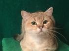 Уникальное фото  Золотой кот на вязку 39160633 в Самаре