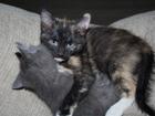 Новое foto Отдам даром - приму в дар Отдам в добрые руки котят от домашней кошки, 66233015 в Самаре