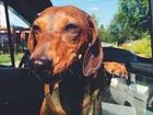 Свежее изображение Вязка собак Всем здравствуйте ! Мы ищем кавалера для вязки 67917965 в Самаре