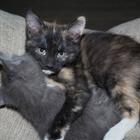Отдам в добрые руки котят от домашней кошки