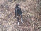 Изображение в Собаки и щенки Продажа собак, щенков Продам Восточно-Сибирскую лайку, возраст в Санкт-Петербурге 6000