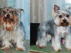 Свежее фотографию Услуги для животных Стрижка собак - стрижка йорков, 32815387 в Санкт-Петербурге