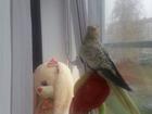 Свежее фото Птички Продам кареллу 32888825 в Кировске