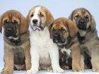 Фото в Собаки и щенки Продажа собак, щенков Профессиональный питомник «Гигантские питомцы» в Санкт-Петербурге 50000