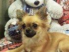 Фото в Собаки и щенки Вязка собак Очаровательная девочка чихуахуашка ищет мальчика в Санкт-Петербурге 0