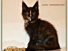 Изображение в Кошки и котята Продажа кошек и котят Питомник предлагает к продаже малышку окраса: в Санкт-Петербурге 0