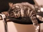 Изображение в Кошки и котята Вязка красивая кошечка 10месяцев (помесь мейн-куна в Санкт-Петербурге 0