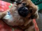 Фотография в Собаки и щенки Вязка собак Пекинес не опытный 1, 3 года. в Санкт-Петербурге 0