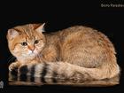 Фото в Кошки и котята Продажа кошек и котят Продаются клубные британские котята окраса в Санкт-Петербурге 10000