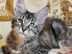 Фотография в Кошки и котята Продажа кошек и котят Продается крупная кошечка мейн-кун Джейн, в Санкт-Петербурге 0