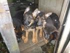 Фото в   Продам элитных-2-х месячных щенков немецкой в Санкт-Петербурге 15000