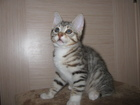Изображение в Кошки и котята Продажа кошек и котят Продаются котята 3, 5 месяца. Папа-Еврочемпион. в Санкт-Петербурге 0