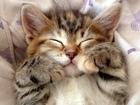 Фото в Кошки и котята Продажа кошек и котят Котенок родился 22 октября 2016 от чистокровных в Санкт-Петербурге 8000