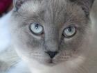 Фотография в Кошки и котята Вязка Опытный кот-британец с родословной , окрас в Санкт-Петербурге 2000
