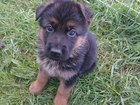 Фото в Собаки и щенки Продажа собак, щенков Продаются щенки немецкой овчарки черно-рыжего в Санкт-Петербурге 12000