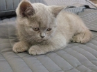 Фотография в Кошки и котята Продажа кошек и котят Красивый лиловый котенок британец (девочка) в Санкт-Петербурге 10000