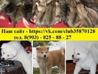 Изображение в Собаки и щенки Продажа собак, щенков Акита-ину чистокровных щеночков от шикарных в Санкт-Петербурге 45000