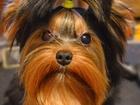 Изображение в Собаки и щенки Стрижка собак Если вы хотите видеть своё дорогую собачку в Санкт-Петербурге 500