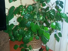 Фотография в Мебель и интерьер Другие предметы интерьера Комнатное растение Циссус или Берёзка:  продаю в Санкт-Петербурге 500