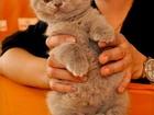 Изображение в Кошки и котята Продажа кошек и котят очень красивая , пухленькая кошечка, полностью в Санкт-Петербурге 25000
