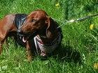 Смотреть изображение Вязка собак Крупный рыжий такс Жора ищет подругу 37902185 в Санкт-Петербурге