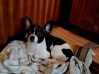 Фотография в Собаки и щенки Вязка собак Мальчик Чихуахуа, ищем девочку, 24. 07. 2013г. в Санкт-Петербурге 0
