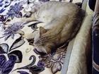 Шотландская кошечка, ищет кота для вязки этой же породы