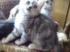Шотландские котята, с мраморным рисунком
