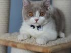 Британский котик OSKAR of Glorious Lotus