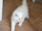 Очаровательные белые котята в добрые руки