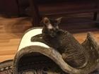 Ищу шоколадного кота с документами для вязки