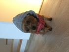 Уникальное фото Вязка собак Вязка кобеля (йоркширский терьер) 68922837 в Санкт-Петербурге