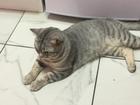 Скачать бесплатно фотографию Вязка кошек Вязка с британским короткошерстным котом 68957862 в Санкт-Петербурге